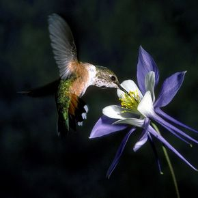 FP107 Hummingbird and Columbine