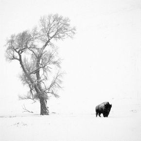 FP114 Bison and Tree