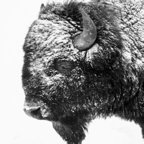FP115 Bison Portrait