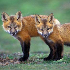 FP138 Red Fox Kits