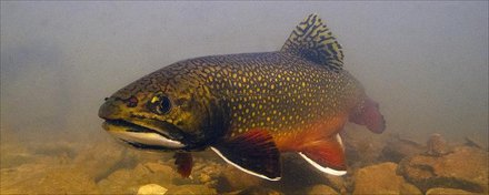 Brook Trout 503