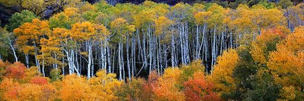 Colorado Aspens 511