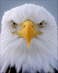 Eagle Portrait 114