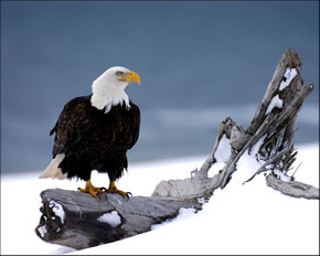 Eagle on a Log #176