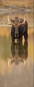 Moose Reflection 161