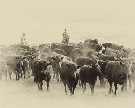Cattle Drive 304